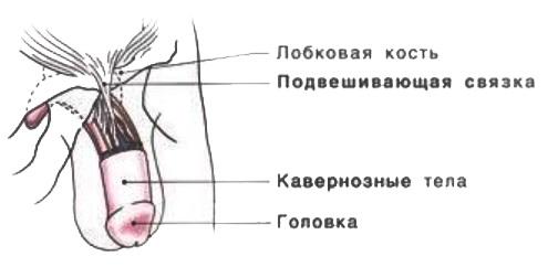 Причины маленького полового члена